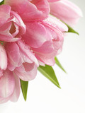 Fototapety pink tulips flowers