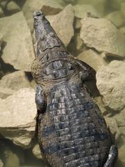 Coccodrillo messicano
