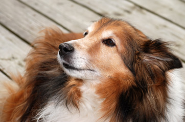 sheltie dog portrait