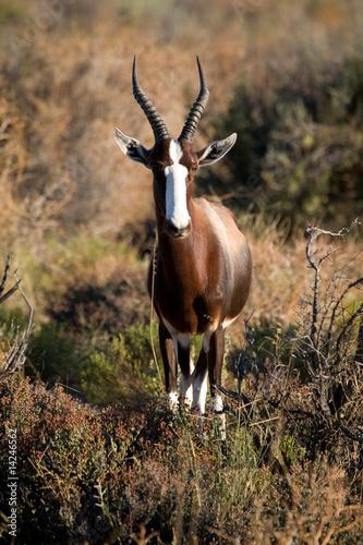 Papiers peints Antilope Buntbock