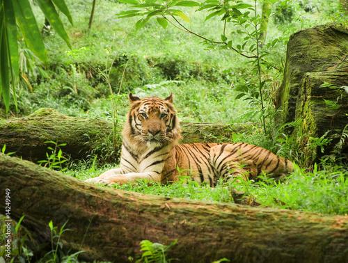 tygrys-odpoczynku-w-safari-uganda