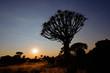 Silhouette of a quiver trees (Aloe dichotoma), Namibia