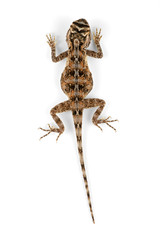 Female African ground agama (Agama aculeata) on white