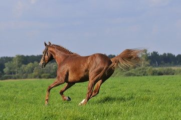 red horse runs gallop on the meadow