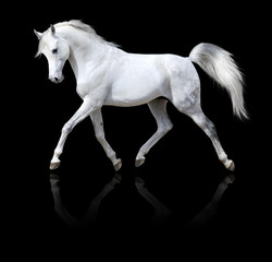 white horse runs trot isolated on black