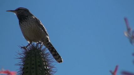 Cactus wren sings on cholla against bright blue sky - HD