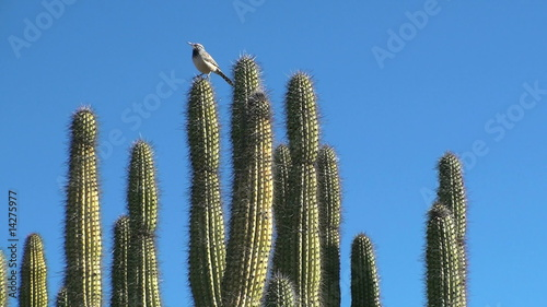 Cactus wren on cholla wide shot - HD