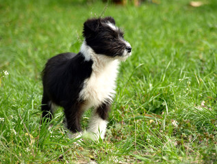 puppy on the meadow