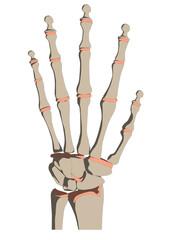 menschliches handskelett