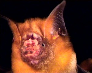 Roundleaf bat