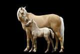 welsh pony mare and her baby foal isolated poster