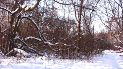 Winter wood in snow. Panorama