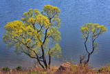 Spring and at the river - extensive acacia over water poster