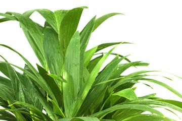 des palmiers en herbes