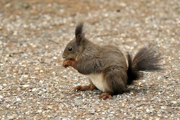 Squirrel Eichhörnchen