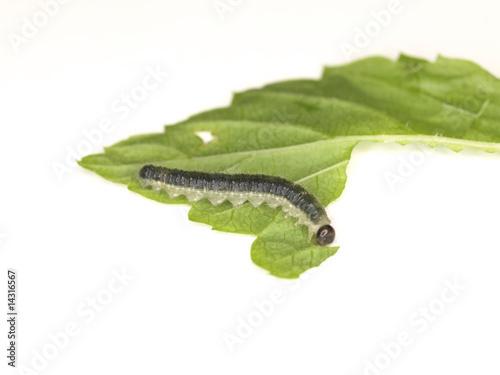 Fotobehang Vlinder Raupe-1