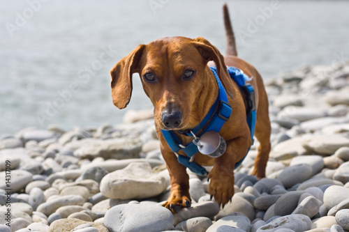 Dachshund on the rocks
