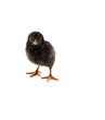 black chick on white