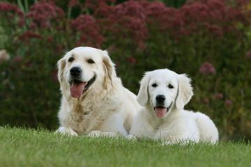adulte et jeune golden retriever allongés dans le jardin