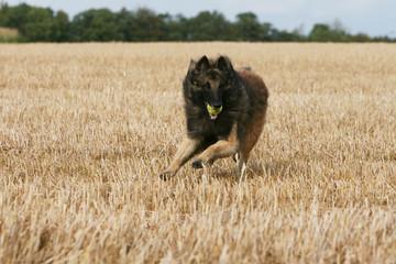 berger belge adulte jouant dans les champs avec une balle