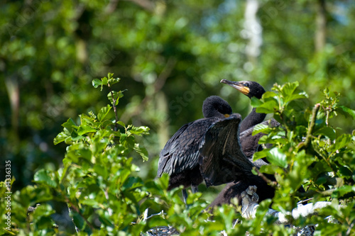 Young Cormorants