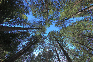 Extremely Tall Pine Trees in Nature