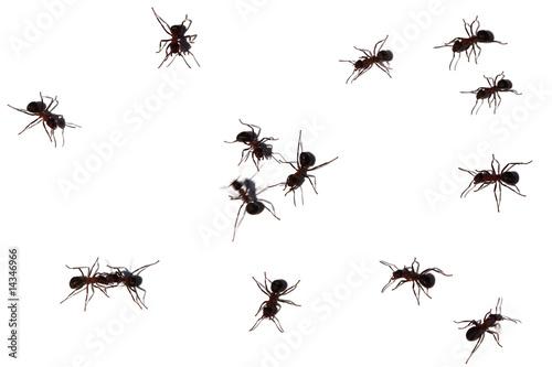 Viele Ameisen
