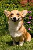 Welsh Corgi Pembroke dog sitting on the grass poster