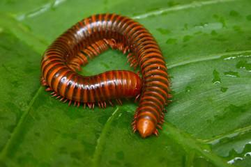 millipede macro on a green leaf