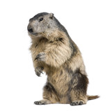 Alpine Marmot - Marmota marmota (4 years old) - Fine Art prints