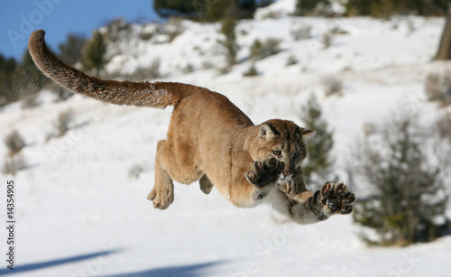Foto op Canvas Puma Mountain Lion Jumping