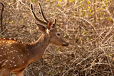 Axis Stag in Morning Light poster