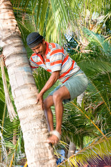 Strong deft man are climbing on coconut tree