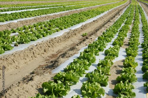 Culture de salades plein champ de pictures news photo libre de droits 14385506 sur - Culture haricot vert plein champ ...