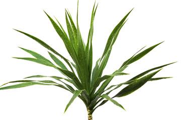 feuillage de yucca