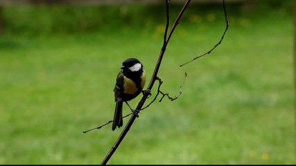 Great Tit on Twig before flying off
