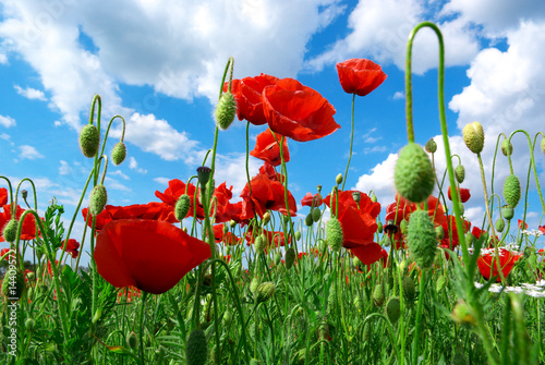 Poppys and sky|14409572