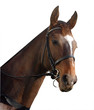 Racehorse Portrait isolated with clipping path.