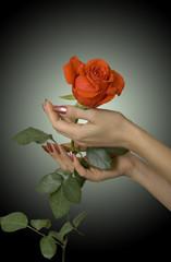 Scarlet rose in hands