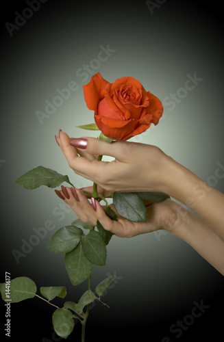 Scarlet rose in hands