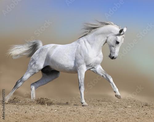white horse stallion runs gallop in dust desert, collage paint