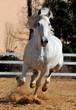 white horse running gallop