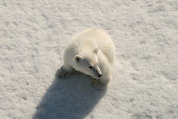 Polar bear cub, Franz Josef Land, Russia