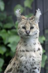 9567 - Serval