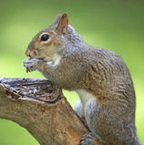 feasting squirrel poster