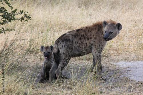 Papiers peints Hyène Spotted Hyenas in the Okavango