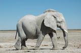 Fototapeta Namibia - zwierzę - Dziki Ssak