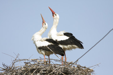 white stork / Ciconia ciconia