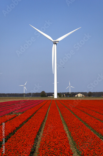 Champs de tulipes rouges