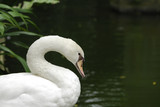Close up of a swan on a lake